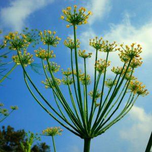 تصویر گیاه رازیانه