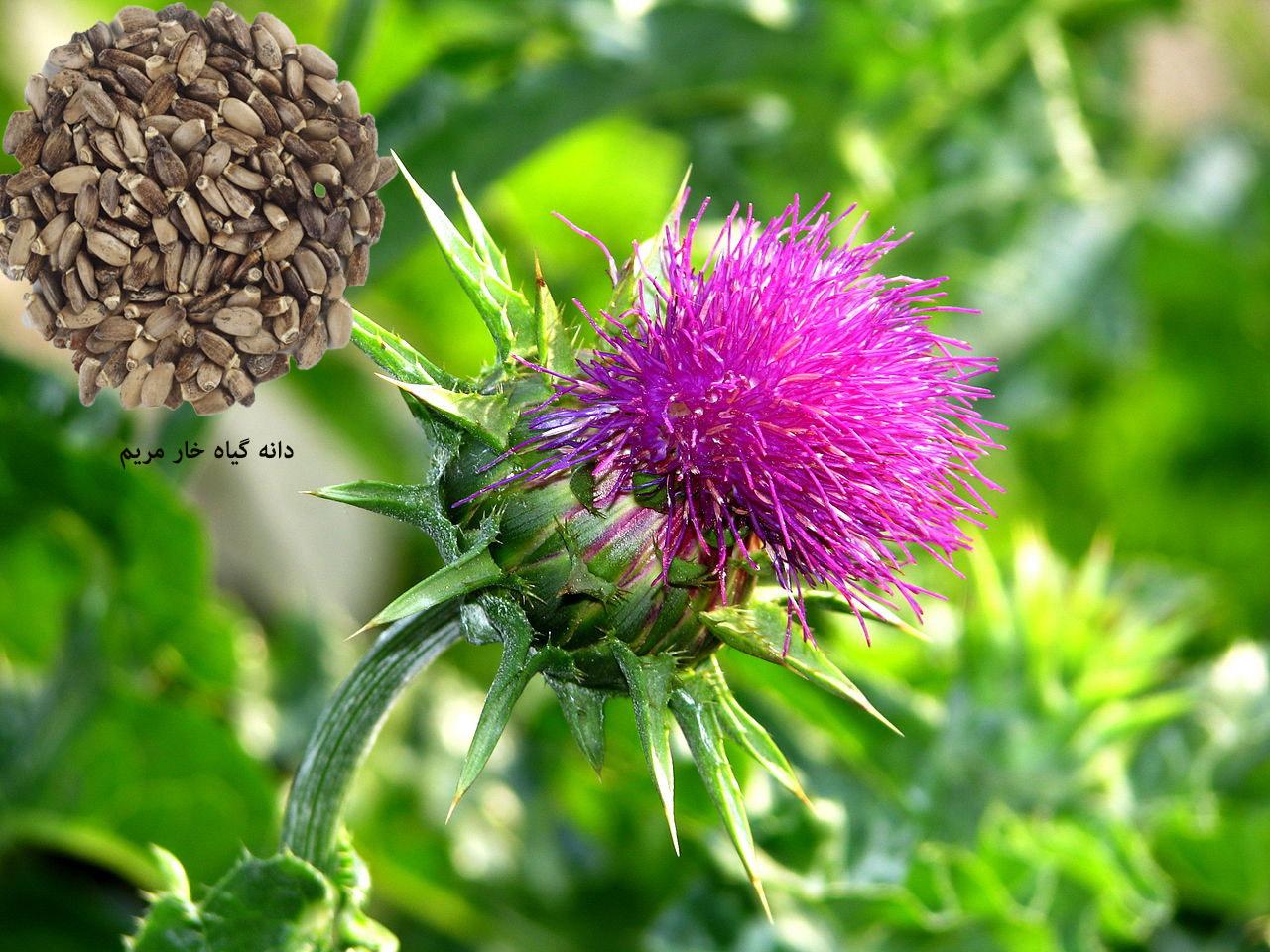 آیا گیاه خارمریم برای کبد شما مفید هست؟